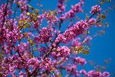 Blossoming Cercis siliquastrum plan — Stock Photo