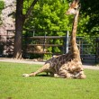 Resting giraffe — Stock Photo