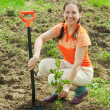 Stock Photo: Mature gardener planting shrubbery