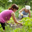 Women working in  vegetable garden — Stock Photo
