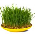 Grass of wheat grown — Stock Photo