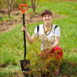 Stock Photo: Happy womplanting thuja