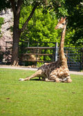 Rust giraffe — Stockfoto
