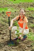 Mature gardener planting shrubbery — Stock Photo