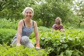 Women working in vegetable garden — Stock Photo