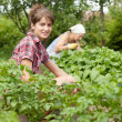 Women working in  vegetable garden - Stock Photo