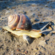 Stock Photo: Snail (Helix aspersa)