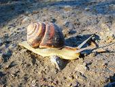 Snail (Helix aspersa) — Stock Photo