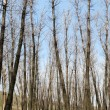 Poplar trees without leaves in spring — Foto de stock #5486084