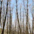 Poplar trees without leaves in spring — Stock Photo #5486084