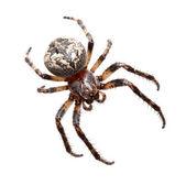 Garden spider (Araneidae) — Stock Photo
