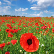 Big meadow of poppies — Stock Photo
