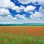 Big meadow of poppys — Stock Photo