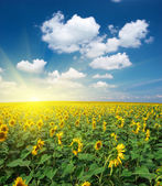 Big field of sunflowers — Stock Photo