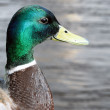 Detail of a Mallard Duck — Stock Photo