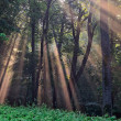 Stock Photo: Sun rays crossing misty forest