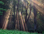 Sun rays crossing a misty forest — Stock Photo