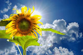Blue sky and sunflower — Stock Photo