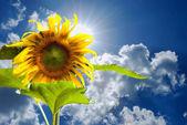 蓝蓝的天空和向日葵 — 图库照片