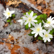 Snowdrop flowers and melting snow - Stock Photo