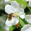 Bee and apple tree flowers — Stock Photo #5738249
