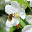 Stock Photo: Bee and apple tree flowers