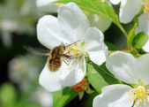 Bee and apple tree flowers — Stock Photo