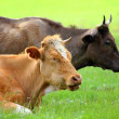 Two cows resting on green meadow — Stock Photo