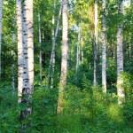 bois de bouleaux de l'été — Photo