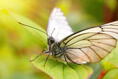 White butterfly on green leaf macro — Stock Photo
