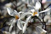 Witte magnolia bloemen — Stockfoto