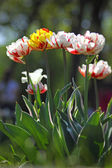 Beautiful white tulips — Foto Stock