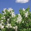Bush of white lilac - Stock Photo