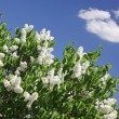 Stock Photo: Bush of white lilac