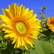 Sunflowers on a field - Stock Photo