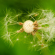 Dried dandelion — Stock Photo