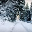 Winter fir-tree forest — Stock Photo