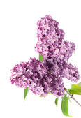 Lilac branch isolated on white — Stock Photo