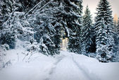 Winter fir-tree forest — Stockfoto