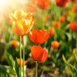 Stock Photo: Red tulips field