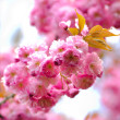 Sakura blooming - Stockfoto