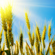 Wheat field with sunlight - Stockfoto