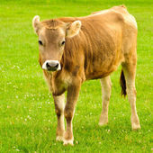 Cow graze — Stock Photo