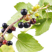 Black currant branch — Stock Photo