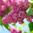 Stock Photo: Lilac branch