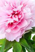 Peônia rosa close-up — Fotografia Stock