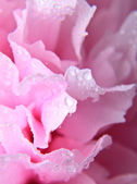 Pink peony background — Stock Photo
