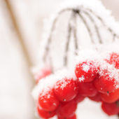 Red rawanberry in winter — Stock Photo