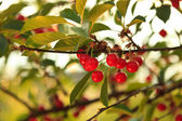 Cherry orchard — Stock Photo