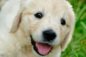 Golden retriever puppy in the grass — Stock Photo